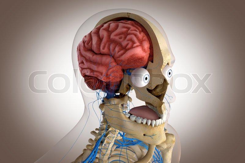 Anatomie des Menschen - von Kopf Gehirn, Augen usw. | Stockfoto ...
