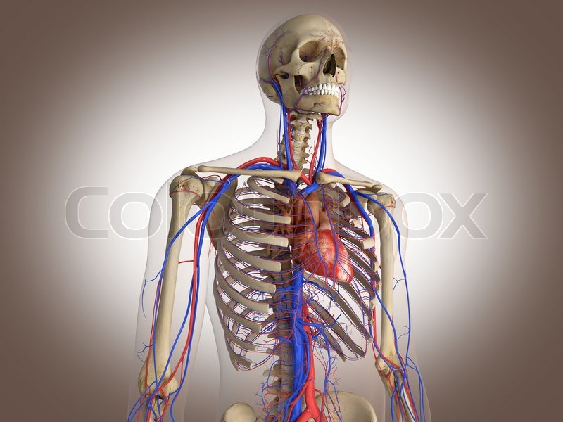 Man Skelett mit inneren Organe 3 D Digital Rendering | Stockfoto ...