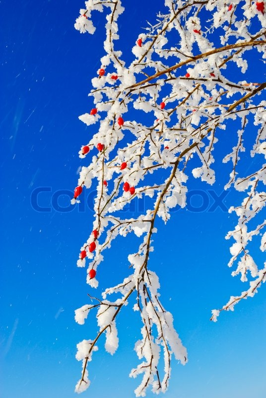 birch b ume str ucher zweige rote fr chte der wilden rose in den wei en schnee bedeckt. Black Bedroom Furniture Sets. Home Design Ideas