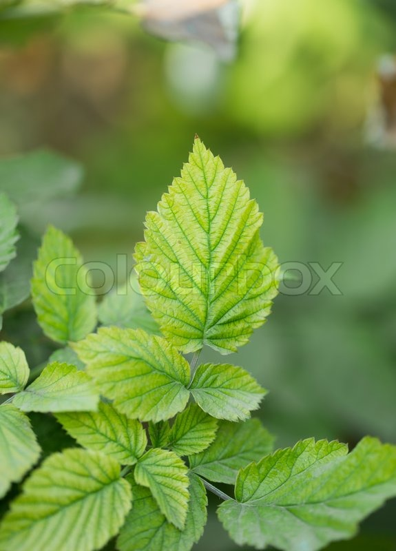 hindbær blad the