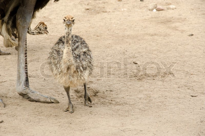 cute baby ostrich