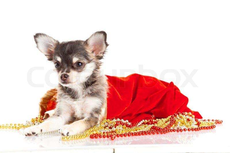 Chihuahua welpen für weihnachten stockfoto colourbox