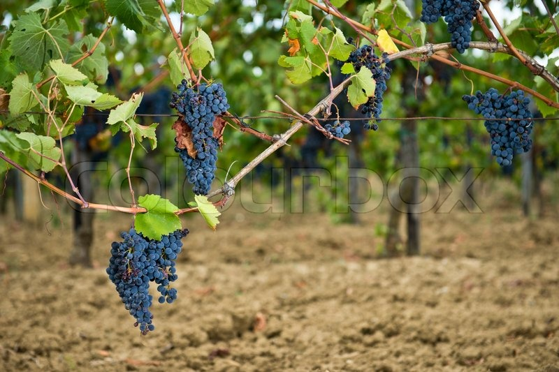 Bunch of full grown red grapes on the vine, stock photo