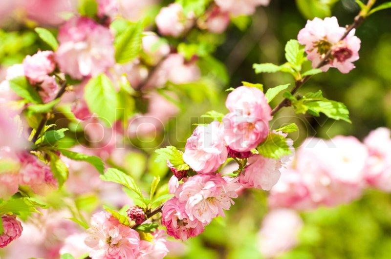 rosa blume von einer orientalischen kirsche in einem fr hlingsgarten stockfoto colourbox. Black Bedroom Furniture Sets. Home Design Ideas