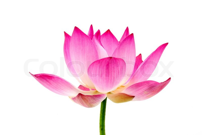 Blooming lotus flower on isolate white background stock photo blooming lotus flower on isolate white background stock photo colourbox mightylinksfo