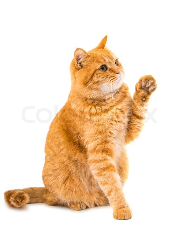 Ginger Cat Isolated On White Background Stock Photo Colourbox