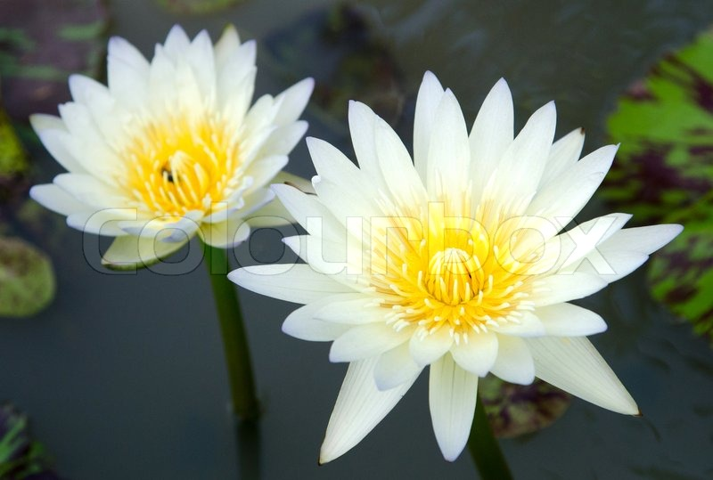 White lotus flower with green leaves background in the lake stock white lotus flower with green leaves background in the lake stock photo colourbox mightylinksfo