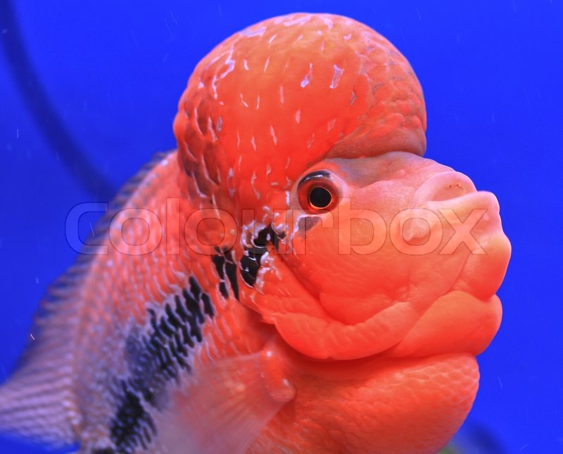 Aquarium fish flower horn fish on blue screen stock for Flower horn fish price