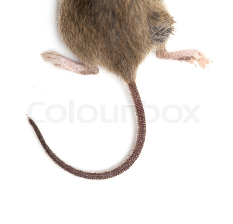 Schwanz der Maus Makro   Stockfoto   Colourbox
