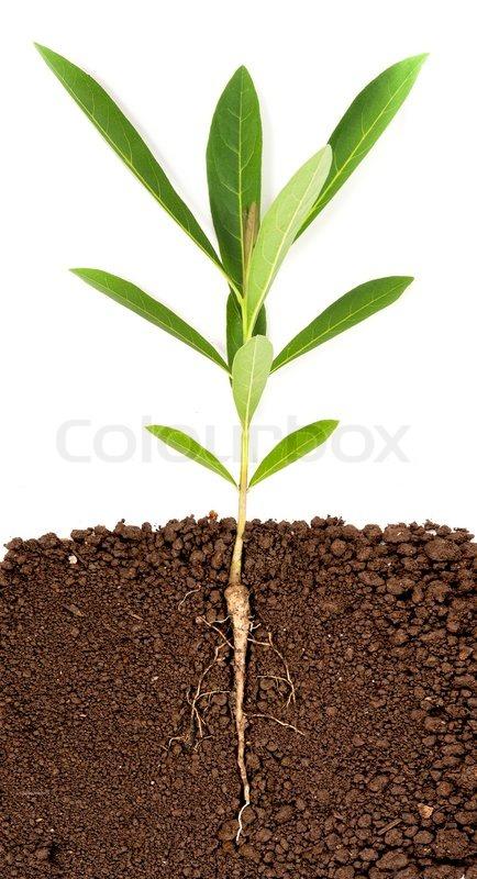wachsende pflanze mit unterirdischen wurzel sichtbar stockfoto colourbox. Black Bedroom Furniture Sets. Home Design Ideas
