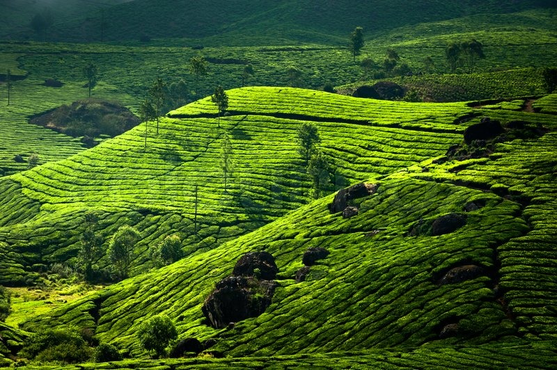 Teeplantage Landschaft Munnar Kerala Indien Nature