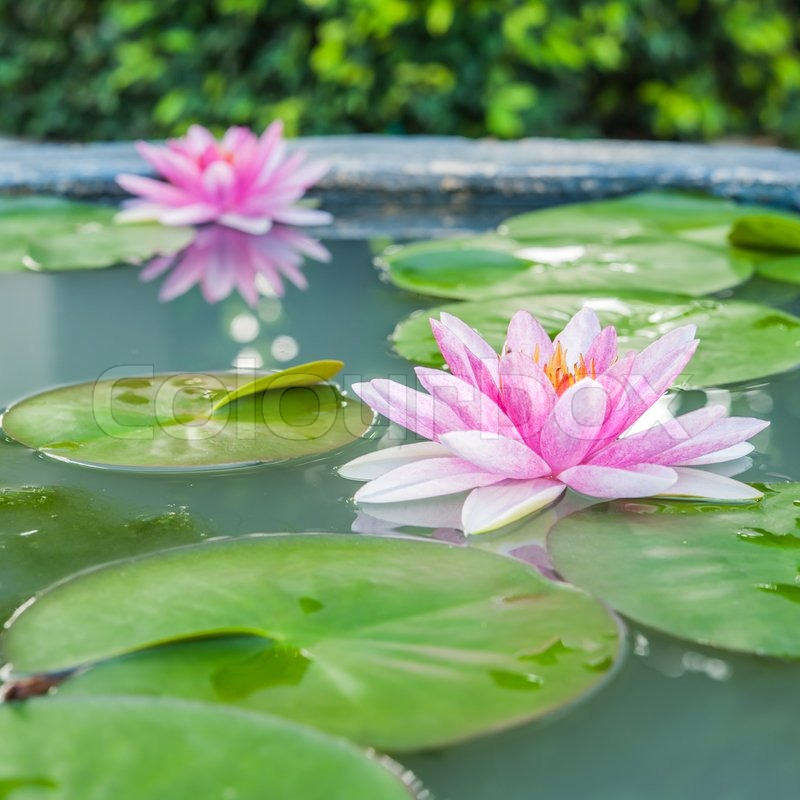Beautiful pink lotus water plant with reflection in a for Aquatic pond plants