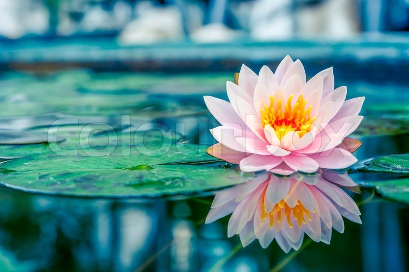 Beautiful Pink Lotus Water Plant With Reflection In A