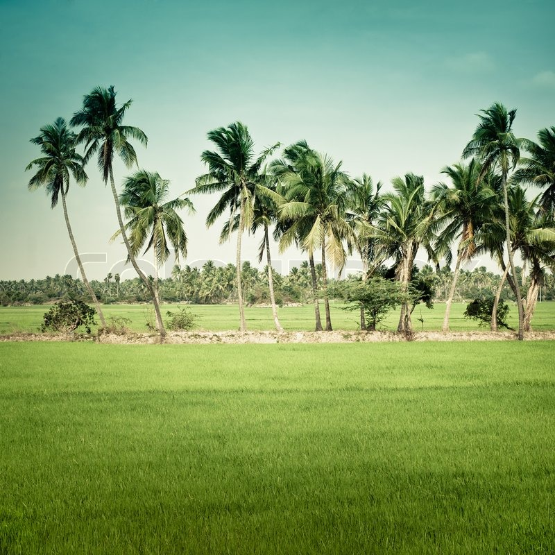 Nature Background Green Texture Of Rice Field With Coconut