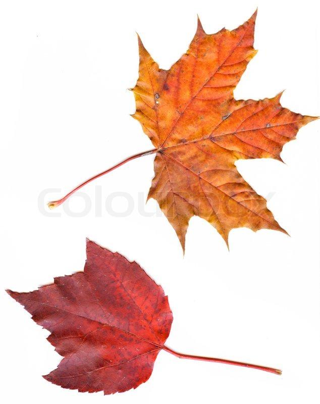 Sammlung schöne bunte Herbstblätter isoliert auf weißem Hintergrund ...