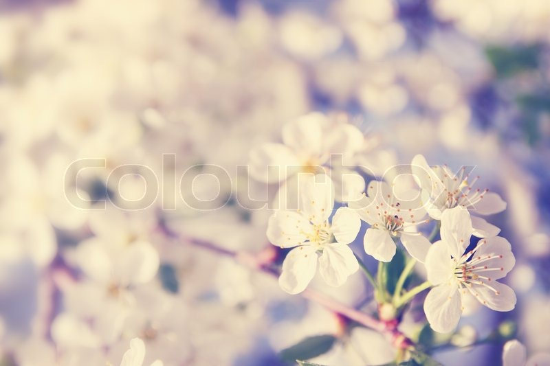 Stock image of 'Spring cherry blossoms on a sunny day'
