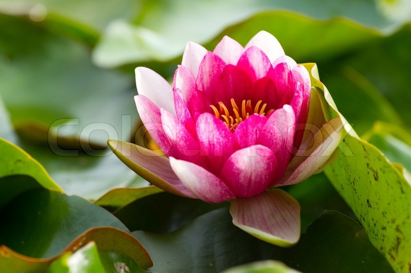 Red lotus flower on the pond | Stock Photo | Colourbox