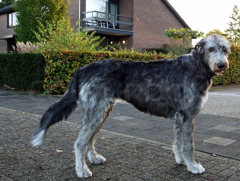 Irish Wolfhound Stock Photo Colourbox