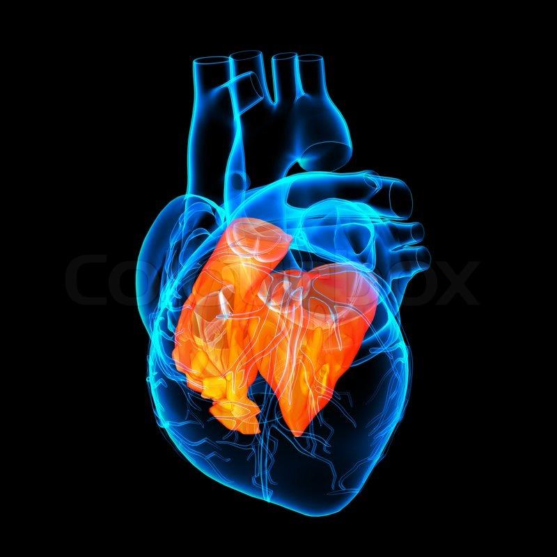 3d render Herz Atrium - Seitenansicht | Stockfoto | Colourbox
