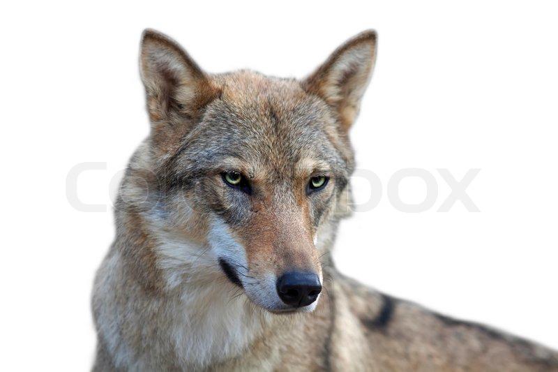 auge in auge portr t mit grauen wolf weibchen auf wei em. Black Bedroom Furniture Sets. Home Design Ideas