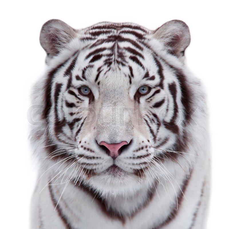 auge in auge mit einem jungen wei en bengal tiger portr t einer wilden raubkatze isoliert auf. Black Bedroom Furniture Sets. Home Design Ideas