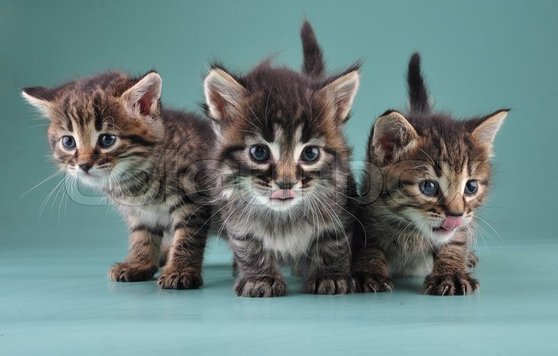 Group of three little kittens together . Studio shot, stock photo