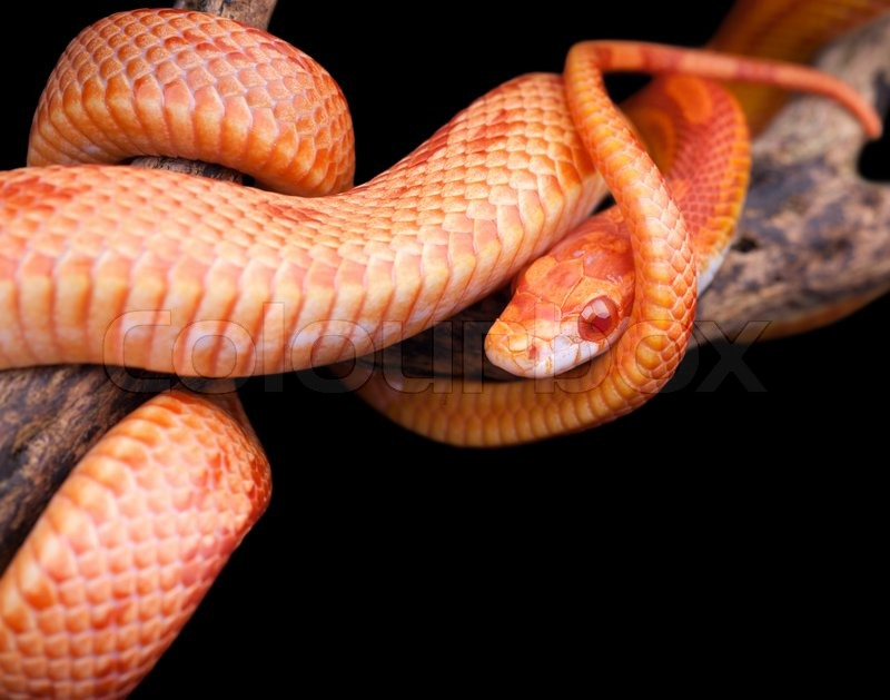 Corn snake wrapped around an old branch and looking at you | Stock ...