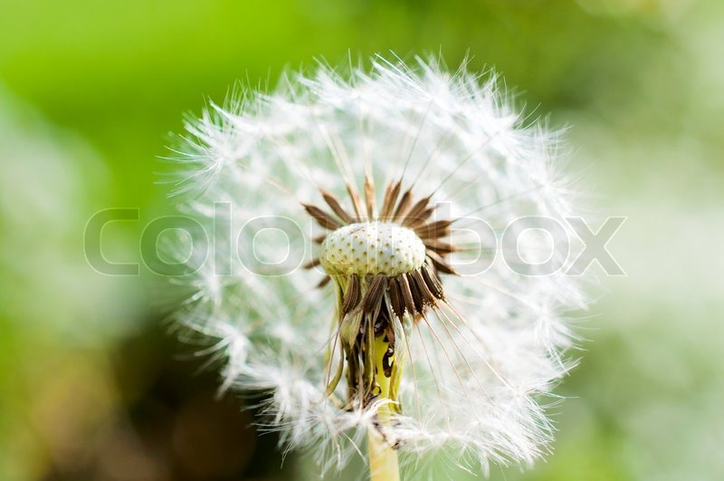 Macro shoot of dandelion flower.Selective focus in the middle of dandelion, stock photo