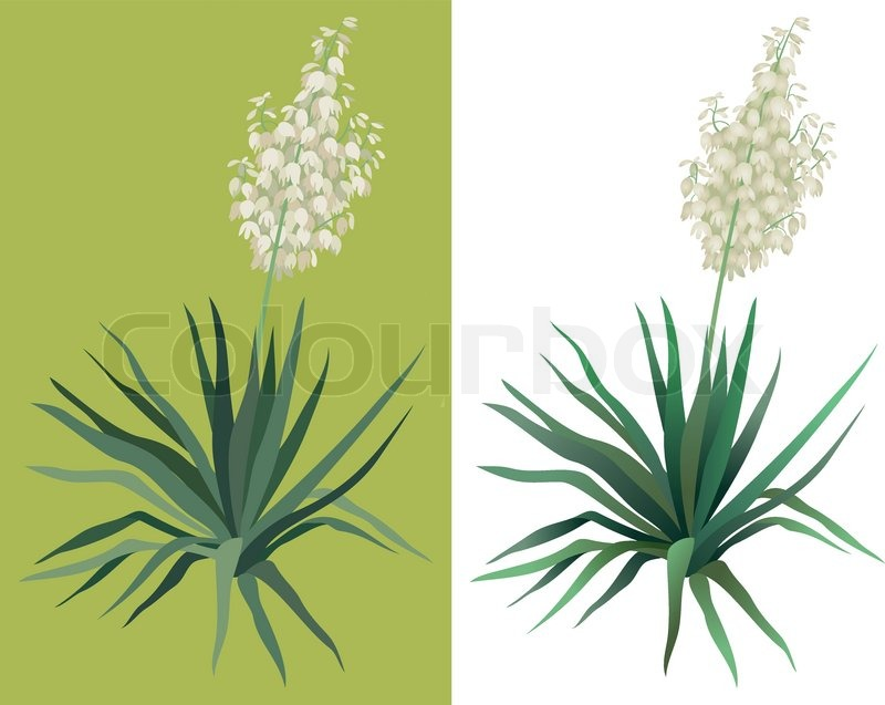 Flowering green plant yucca isolated on white background drawn from flowering green plant yucca isolated on white background drawn from life vector stock vector colourbox mightylinksfo