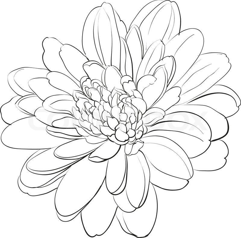 Camellia Flower Line Drawing : Chrysantheme blume auf weißem hintergrund vektorgrafik