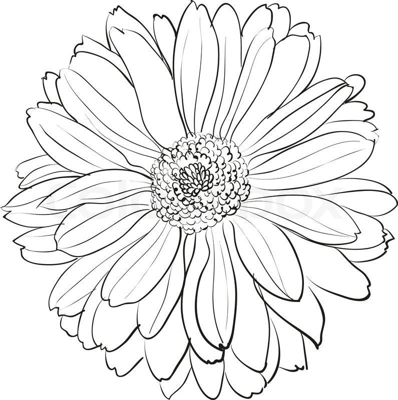 Chrysanthemum Flower On White Stock Vector Colourbox
