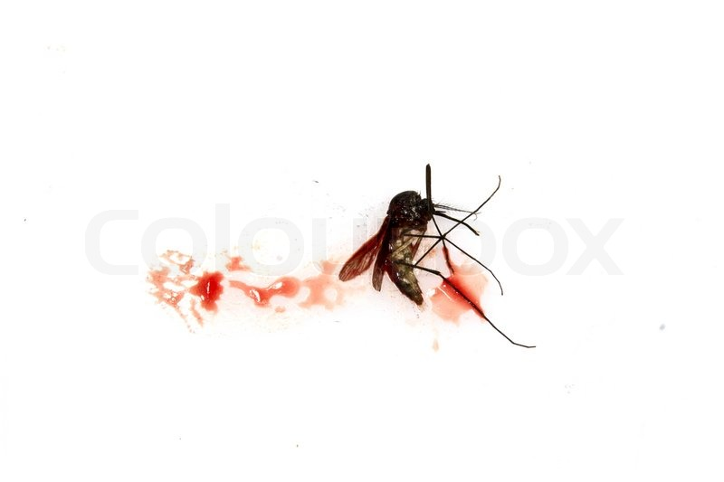 Blutsaugenden Mücke auf weißem Hintergrund zerquetscht   Stockfoto ...
