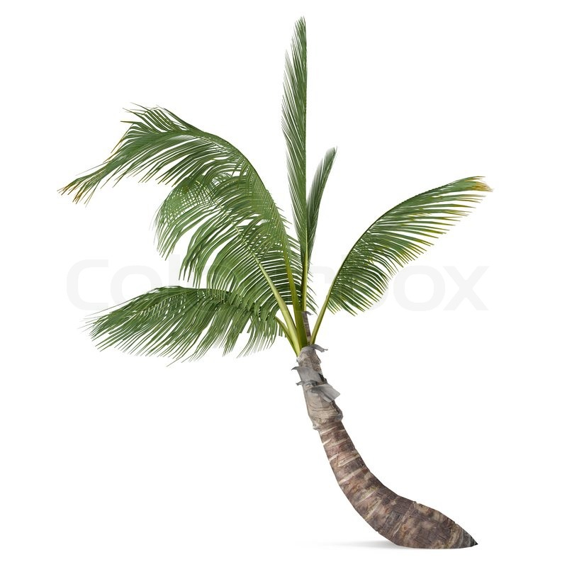 coco palme isoleret cocos nucifera stock foto colourbox. Black Bedroom Furniture Sets. Home Design Ideas