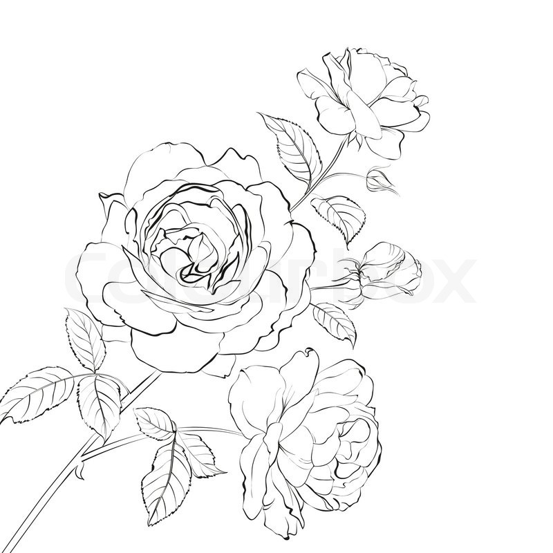Line Art Rose Flower : Contour of rose isolated over white vector illustration