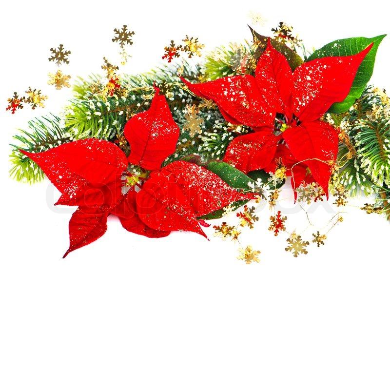 r d blomst julestjerne med juletr grene dekoration stock foto colourbox. Black Bedroom Furniture Sets. Home Design Ideas