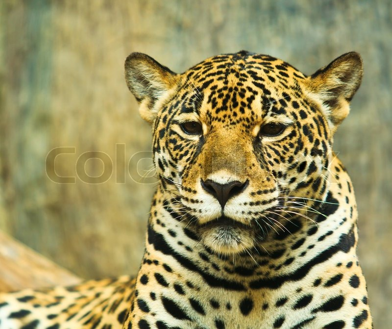 an analysis of the animal jaguar in central and south america Central america, and south america the jaguar is also used as a clan animal in some cultures of central and south america in indigenous mythology and.