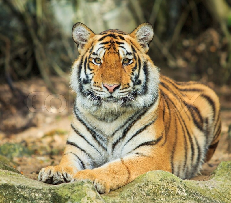 the asian tigers essay The tigers are a group of 4-5 east asian countries, which have joined the rich western countries after a period of 30-40 years of miraculous growth.