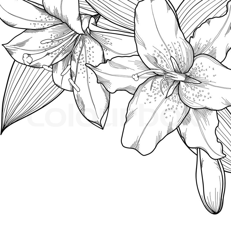 Graphic black and white lilies. Decoration on a white background. Can be used to design greeting ...