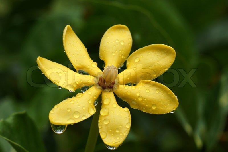 fragrant yellow flowers. gardenia carinata wallich.  stock, Beautiful flower