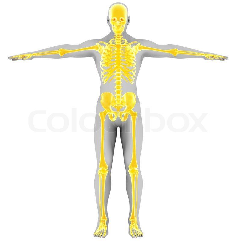 Beste Anatomie Der Organe Rückansicht Fotos - Menschliche Anatomie ...