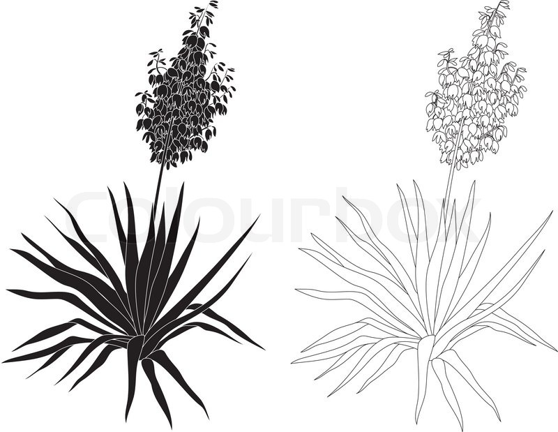 Flowering plant yucca black contours and silhouettes isolated on flowering plant yucca black contours and silhouettes isolated on white background vector stock vector colourbox mightylinksfo