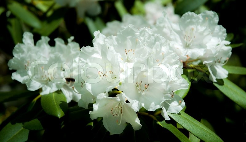 Beautiful photo of a blooming white azalea flowers stock photo beautiful photo of a blooming white azalea flowers stock photo colourbox mightylinksfo