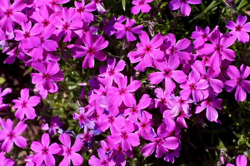 Small Pink Spring Flowers Closeup Photo. Spring Garden, stock photo