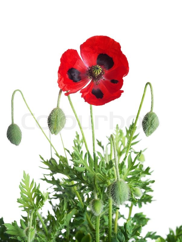 poppy red background - photo #8