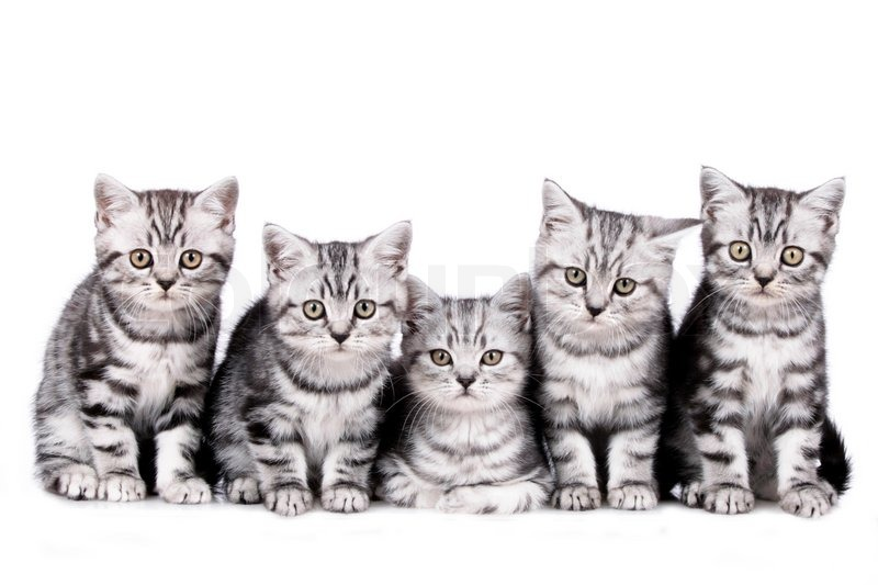 five little tabby cats in a line isolated stock photo colourbox. Black Bedroom Furniture Sets. Home Design Ideas