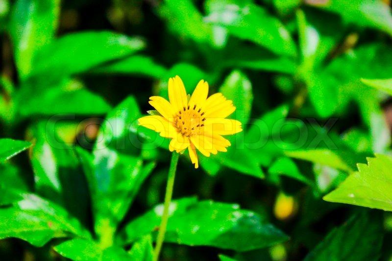 Acmella oleracea spilanthes acmella toothache plant paracress acmella oleracea spilanthes acmella toothache plant paracress fresh yellow flower wayside and mightylinksfo