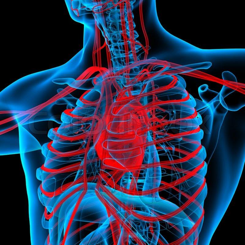 Red Circulatory System