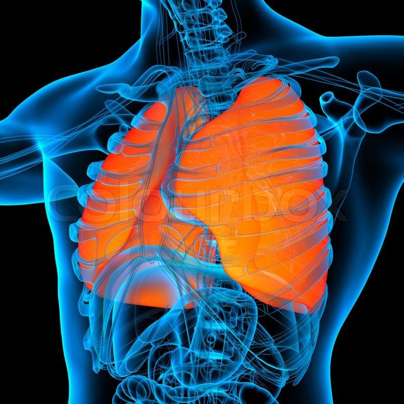 Anatomie der Orane Lunge - Ansicht von rechts vorn | Stockfoto ...