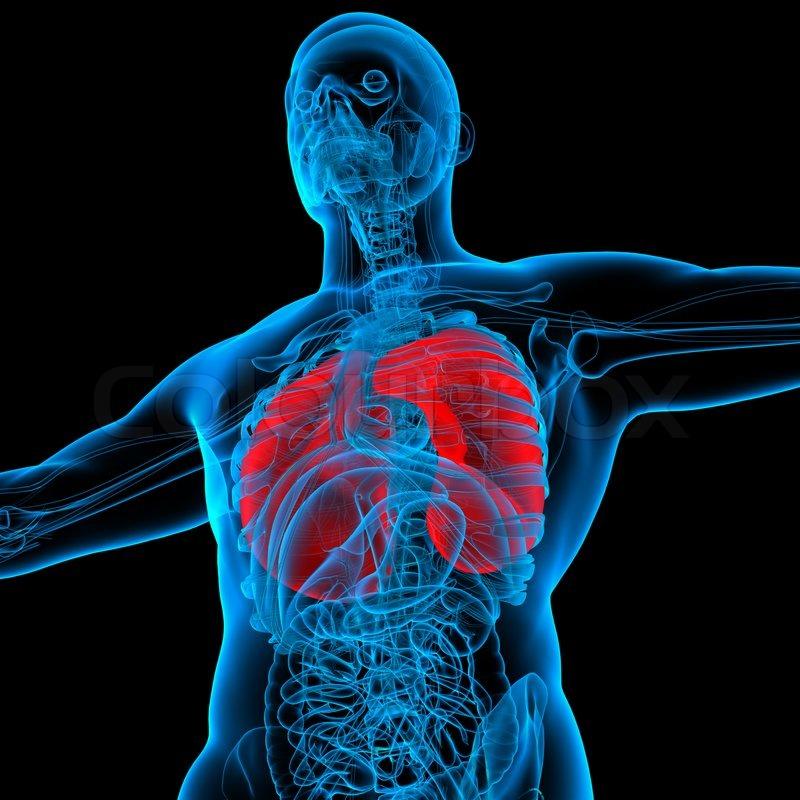 Anatomie der roten Lunge - Ansicht von unten | Stockfoto | Colourbox