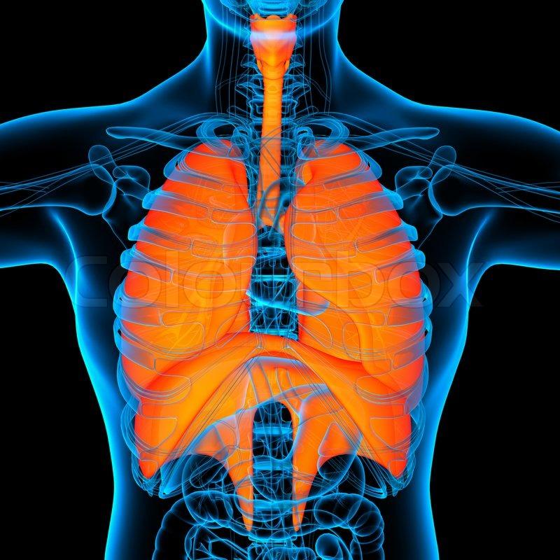 Anatomie der menschlichen Atemwege - Vorderansicht   Stockfoto ...